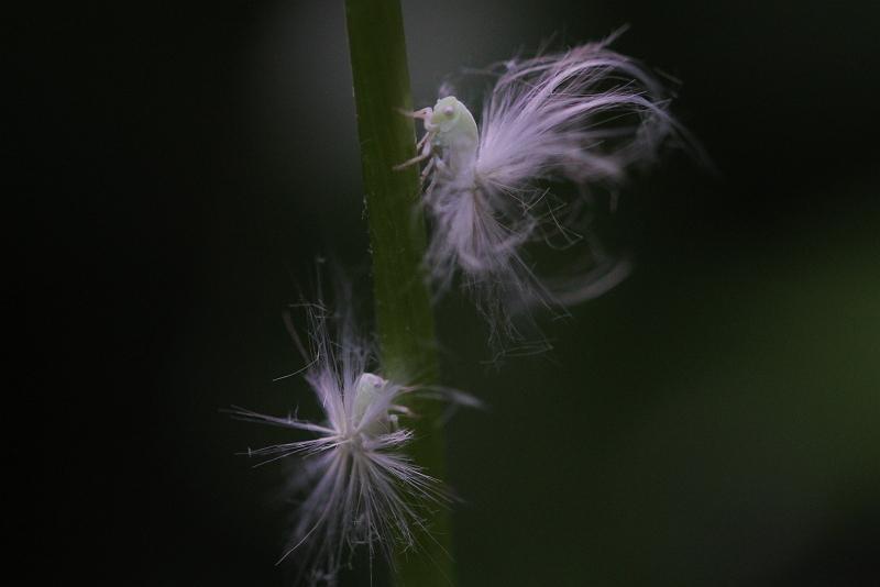 ③スケバハゴロモ幼虫_s