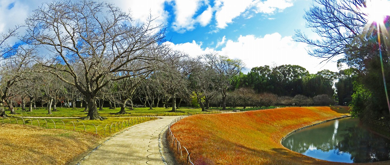 20161216 後楽園今日の園内桜林と梅林と花交の池のワイド風景 (1)