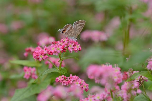 蕎麦の花と蝶1