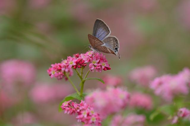 蕎麦の花と蝶2