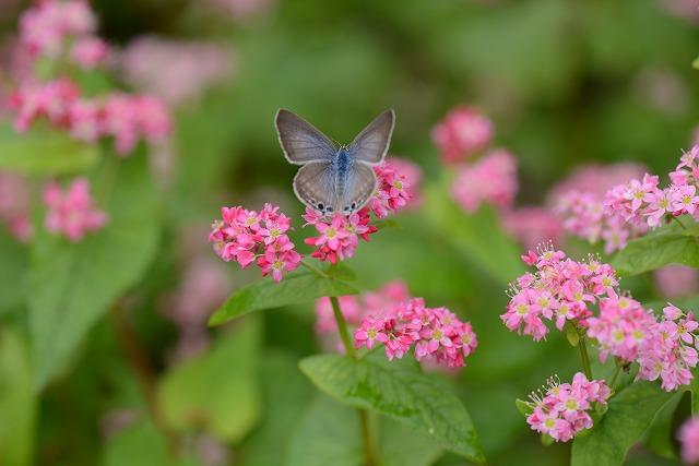 蕎麦の花と蝶3