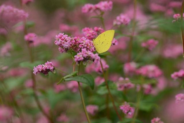 蕎麦の花と蝶4