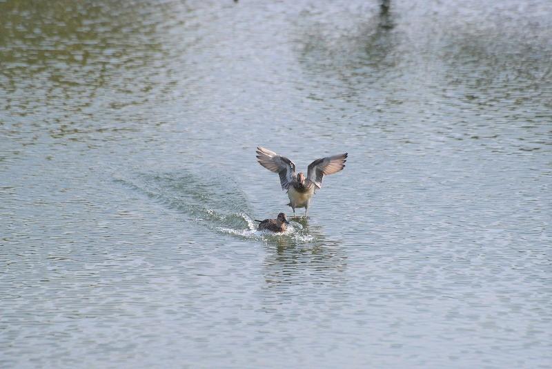 沢の池の鴨