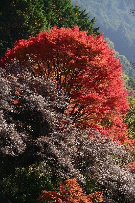 四季桜4t