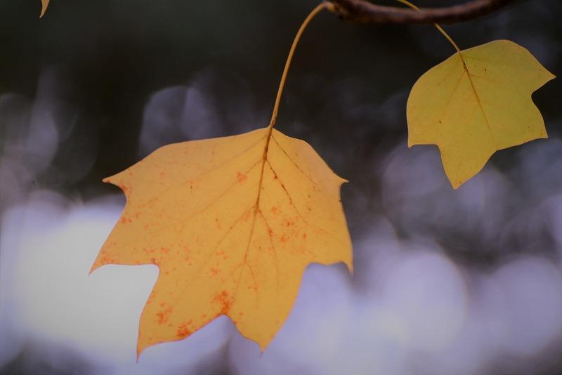 ユリの木の黄葉4