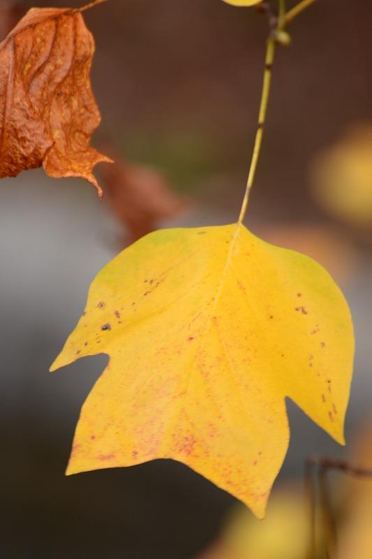 ユリの木の黄葉3