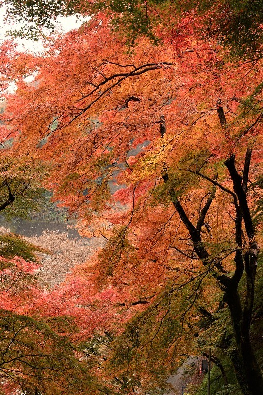 天神峡の紅葉12t