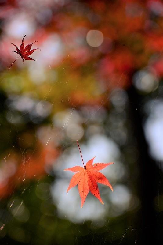曹源寺の紅葉10