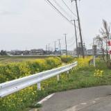 遊佐の菜の花