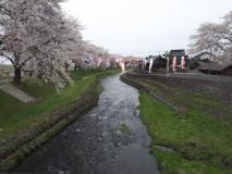 中山公園の桜