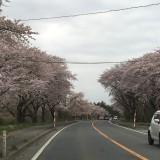 7号線の桜