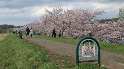 桜づつみ 2016-5-4 (58)