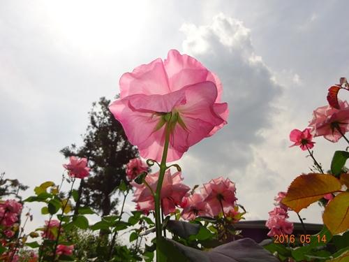 DSC05718吉田茂邸庭園ピンクバラ