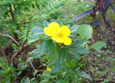 DSC05942黄色い花