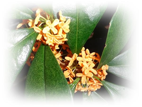 DSC06868キンモクセイの花