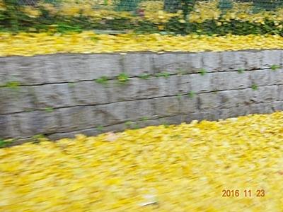 DSC07408黄色いじゅうたん
