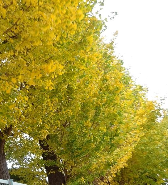 DSC07407黄色いイチョウ