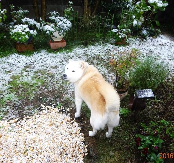 DSC07414雪の朝のカノン