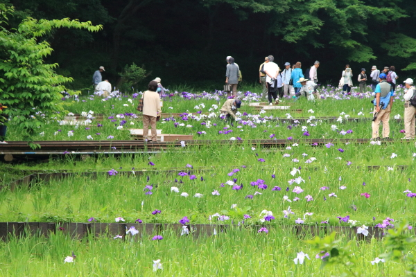 IMG_7618四季の森公園 花菖蒲花菖蒲四季の森