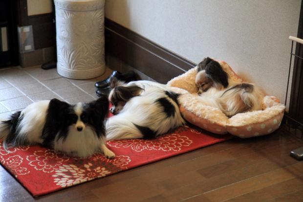 IMG_9870ベッドの犬達ベッドの犬達