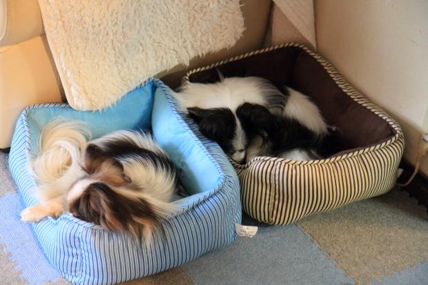 IMG_9873ベッドの犬達ベッドの犬達