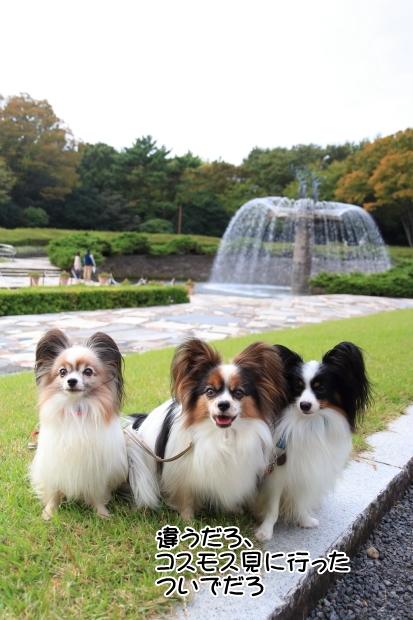 昭和記念公園コスモス201600007518