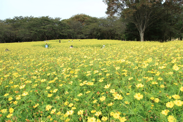 昭和記念公園コスモス201600007574