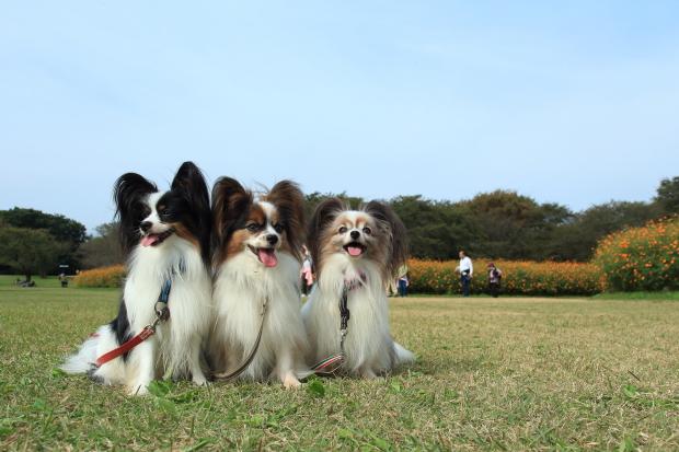 昭和記念公園コスモス201600007581
