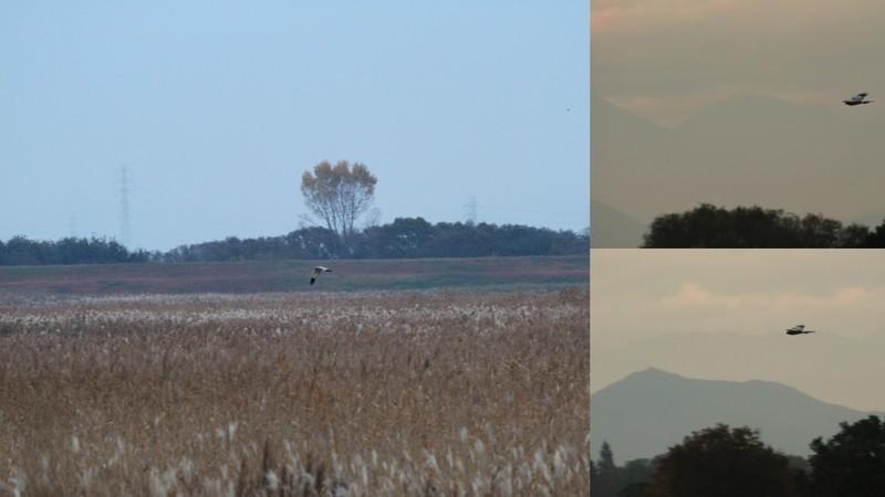y16-11-15 渡良瀬遊水地のハイチュウ