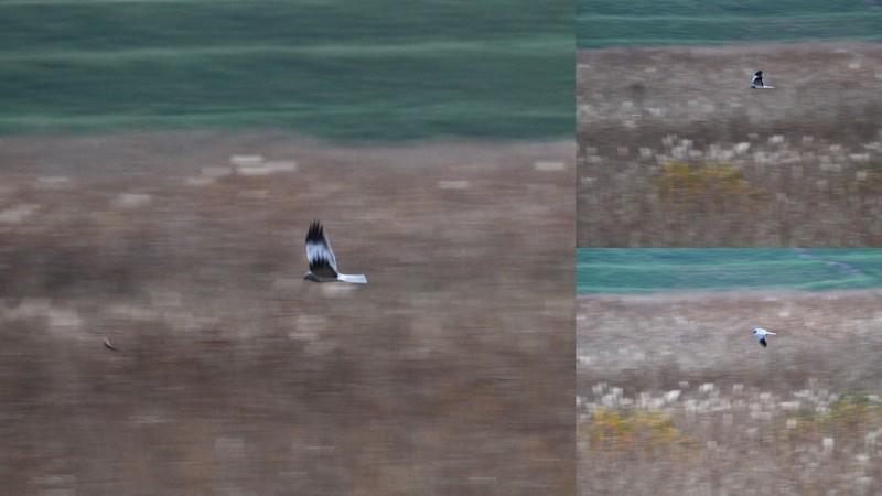 y16-11-15 渡良瀬遊水地のハイチュウ1