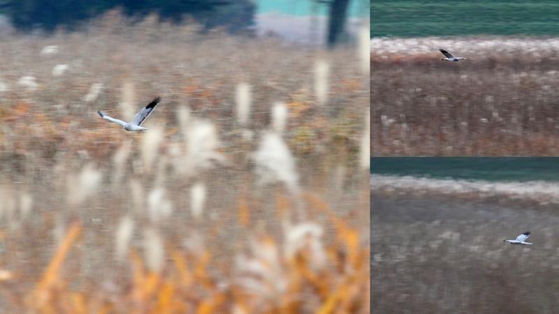 y16-11-15 渡良瀬遊水地のハイチュウ2