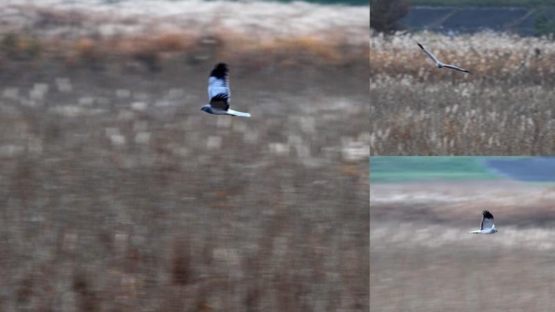 y16-11-15 渡良瀬遊水地のハイチュウ3