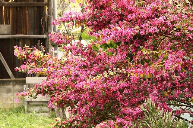 白花常盤満作紅花