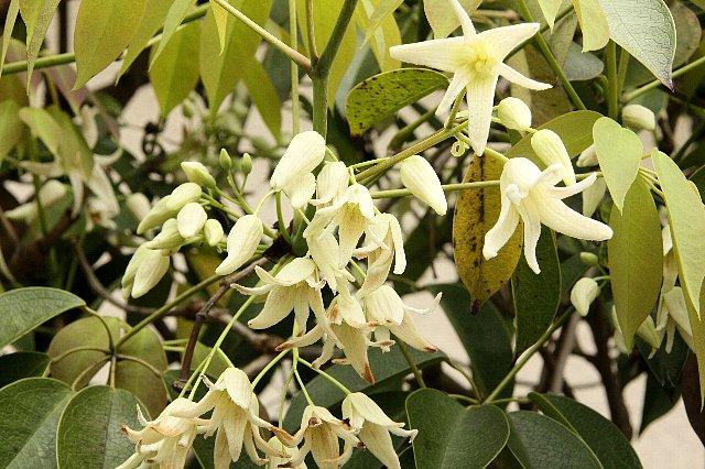 ムベ 白花1