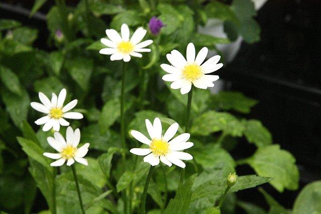 ミヤコワスレ 白花