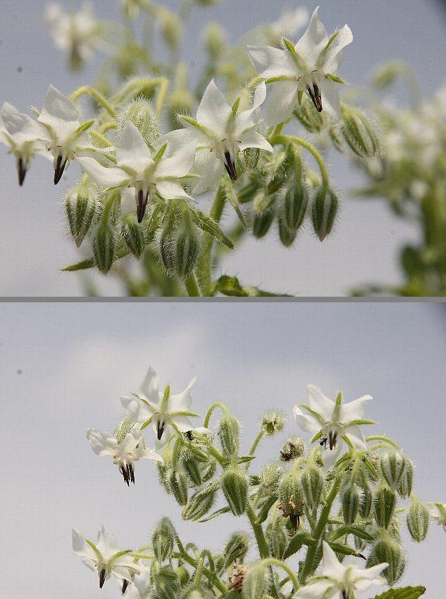 ボリジ 白花