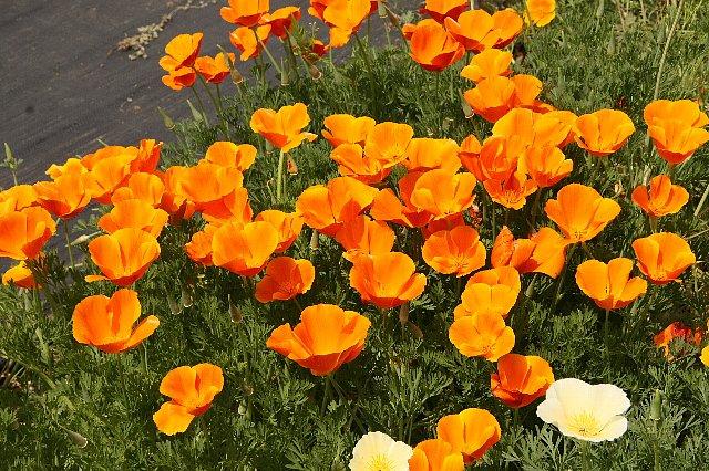 花菱草 濃オレンジ