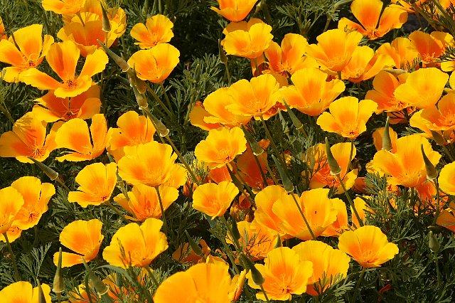 花菱草 オレンジ