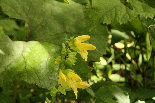 黄花アキギリ1