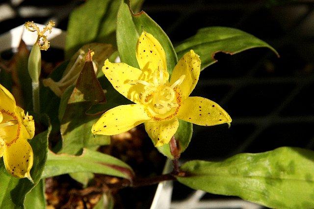 黄花ホトトギス