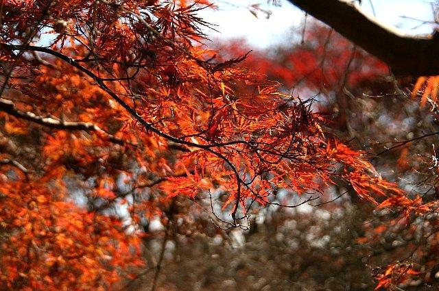 紅枝垂れモミジ