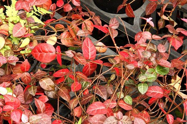 初雪カズラ 赤葉1