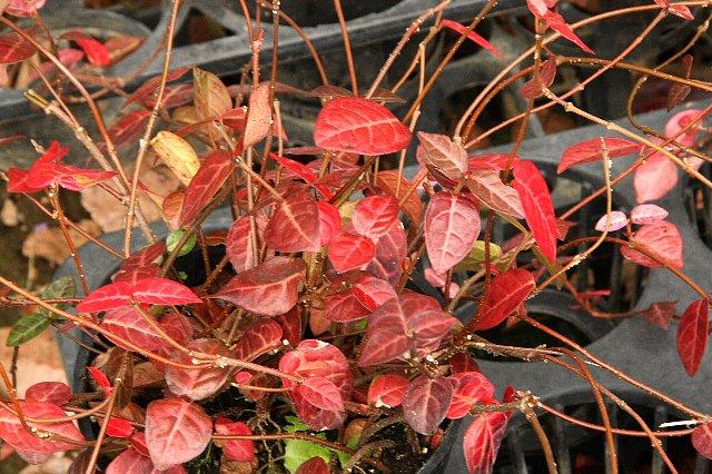 初雪カズラ 赤葉