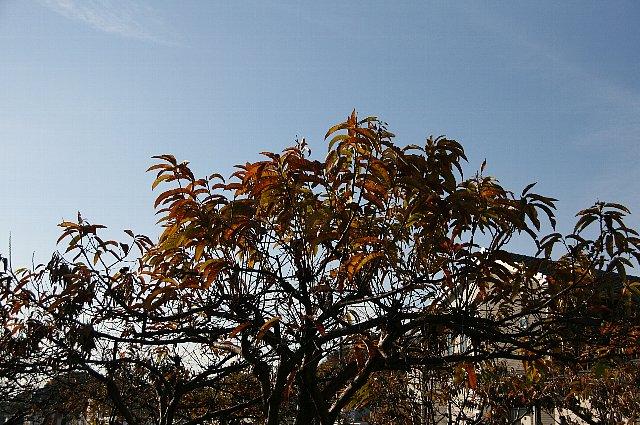 黄葉 栗の木1