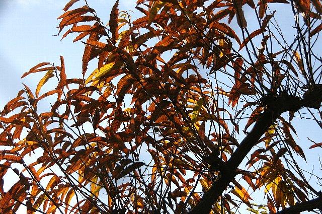 黄葉 栗の木