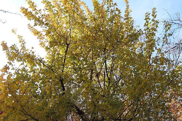 黄葉 トウカエデ1