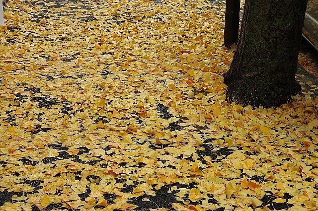 公孫樹の落ち葉2
