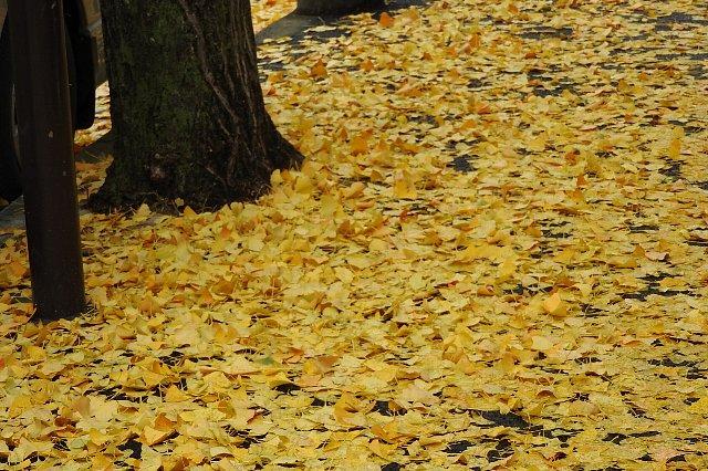 公孫樹の落ち葉1