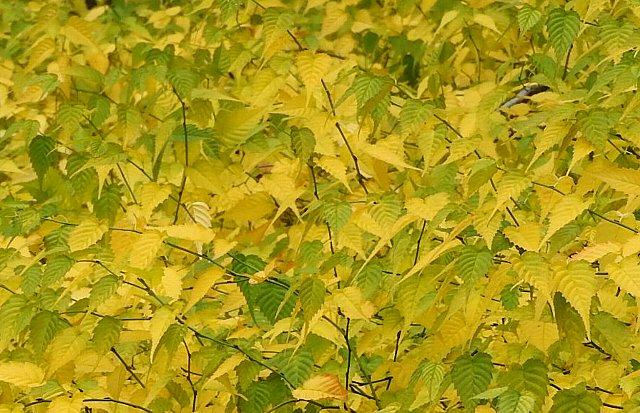 黄葉 ヤマブキ2
