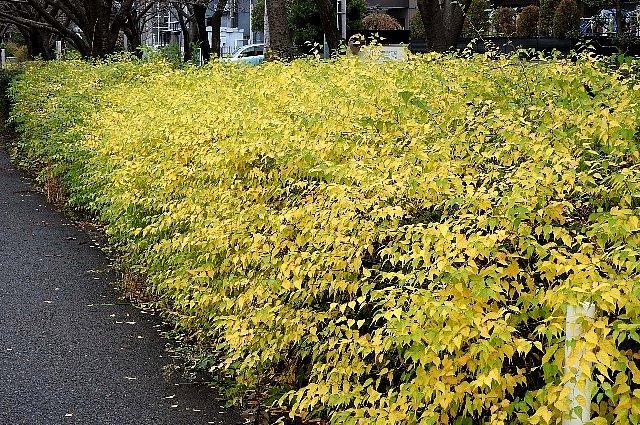 黄葉 ヤマブキ1